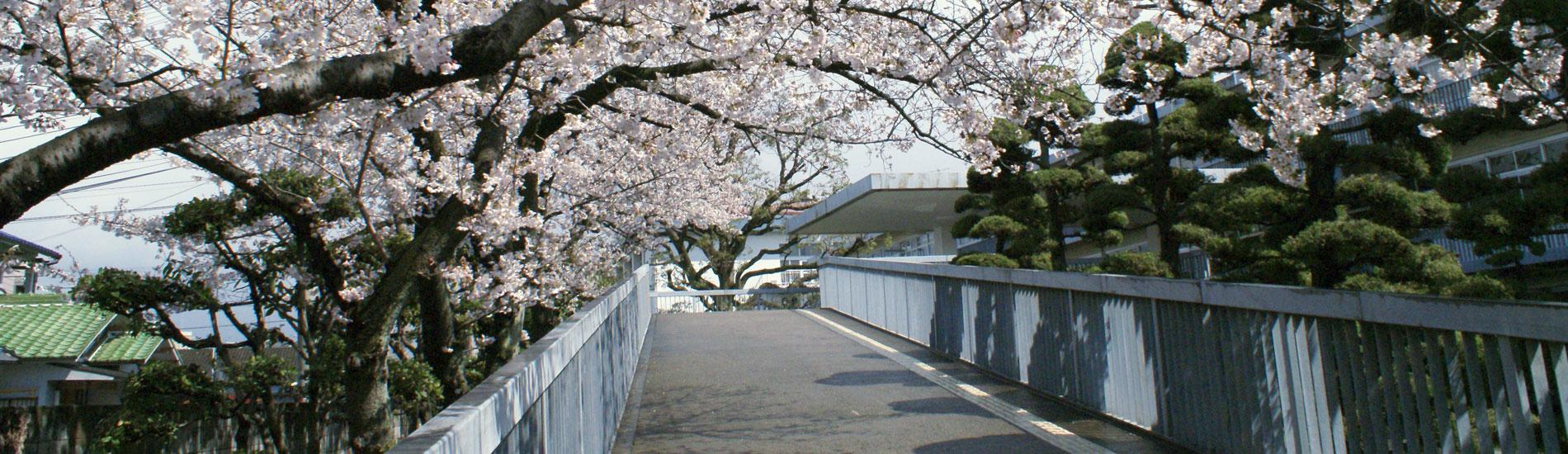 スロープ脇の桜